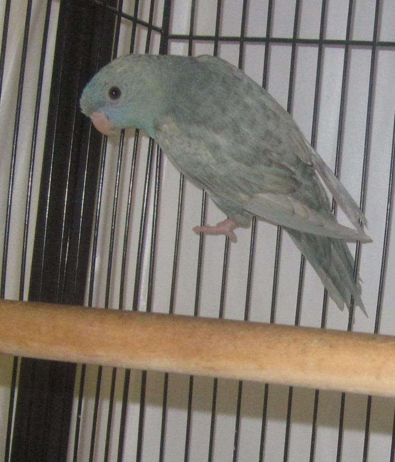Chopmist Hill Lineolated Parakeet A K A Quot Linnie Quot  Quot The